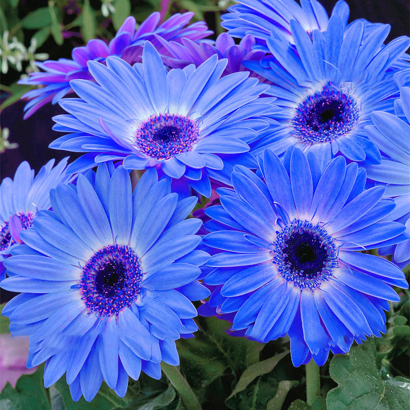 100pcs/pack gerbera daisy seeds majorette blue halo fragrant bellis flower seeds