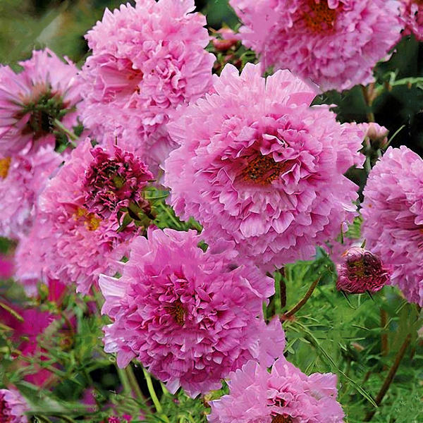 100pcs/pack chrysanthemum seeds double cosmos perennial flower seeds bonsai plants