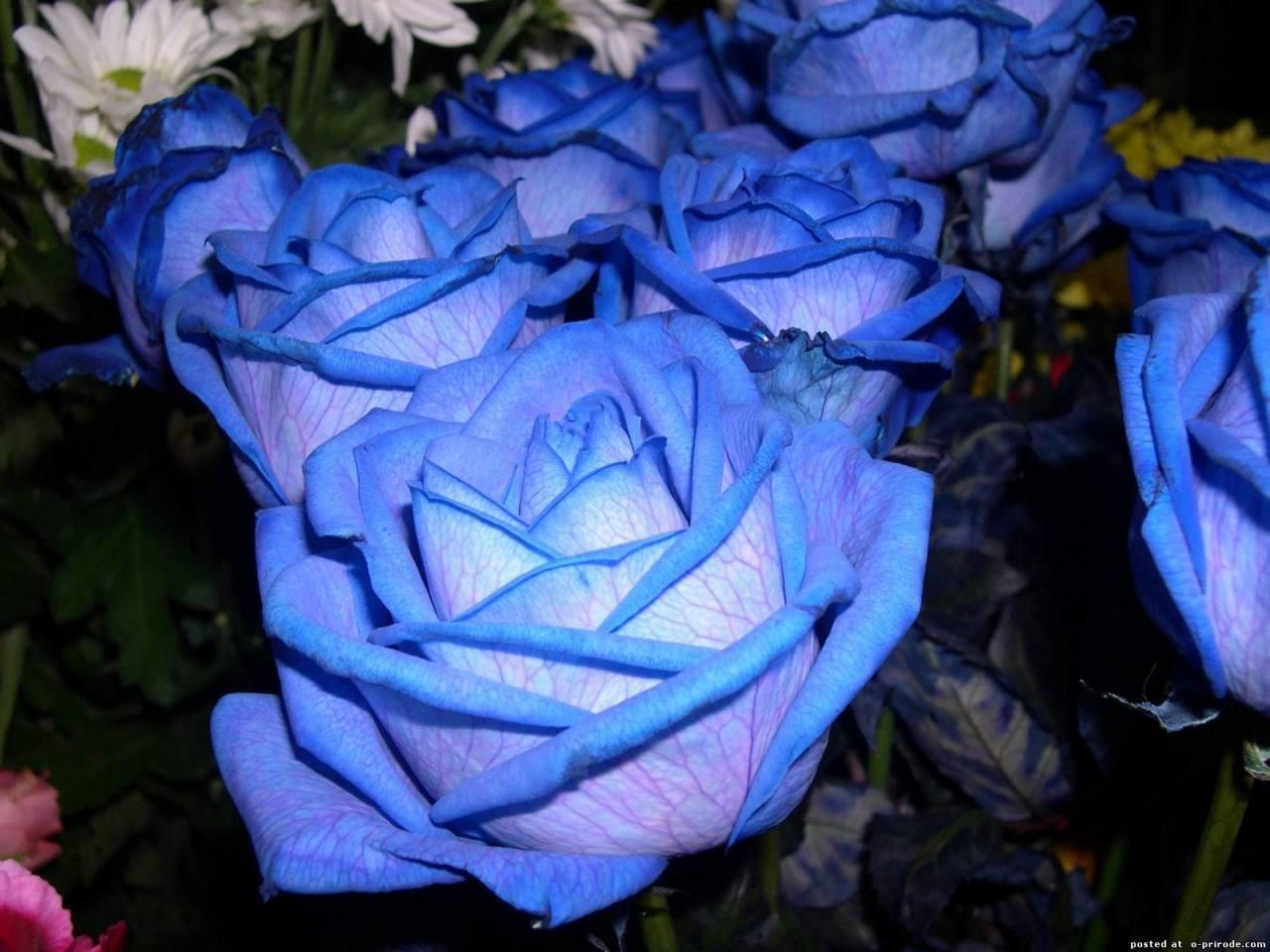 50Pcs Blue Rose Seeds Blue Lover Rose Seeds DIY Home Garden Dec Bonsai Pla