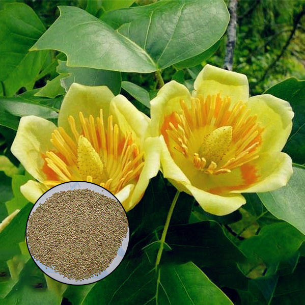 50pcs/bag magnoliaceae flower seeds ornamental plant liriodendron chinense bonsai seeds