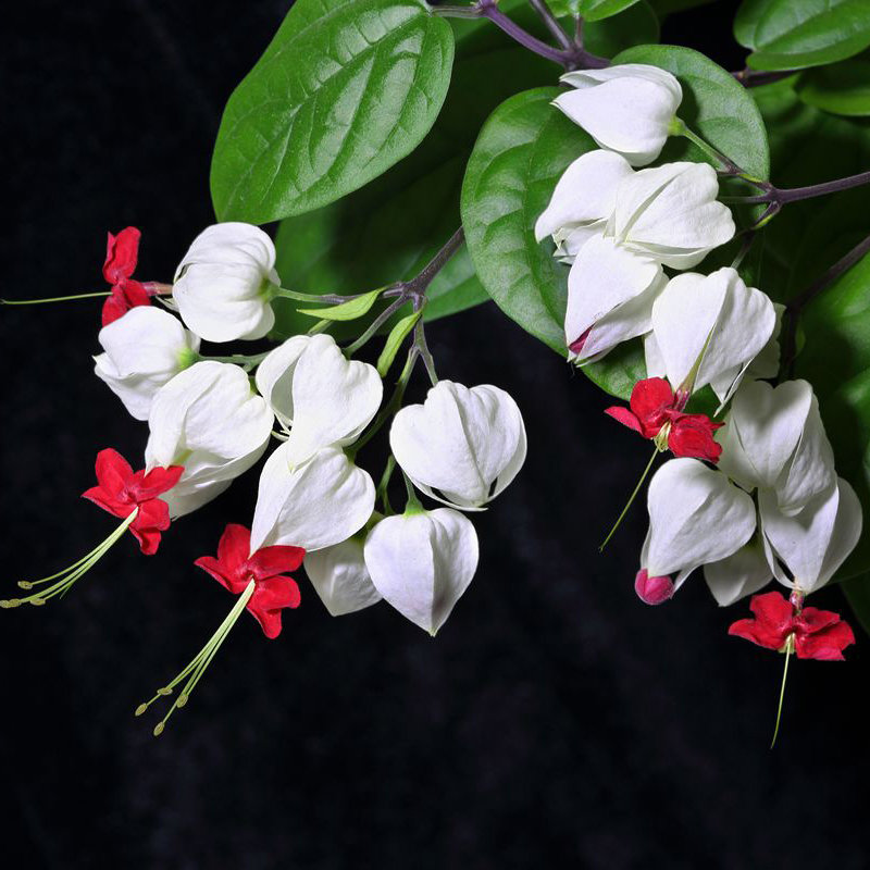 20pcs clerodendrum thomsonae balf seeds rare flower garden bonsai seeds