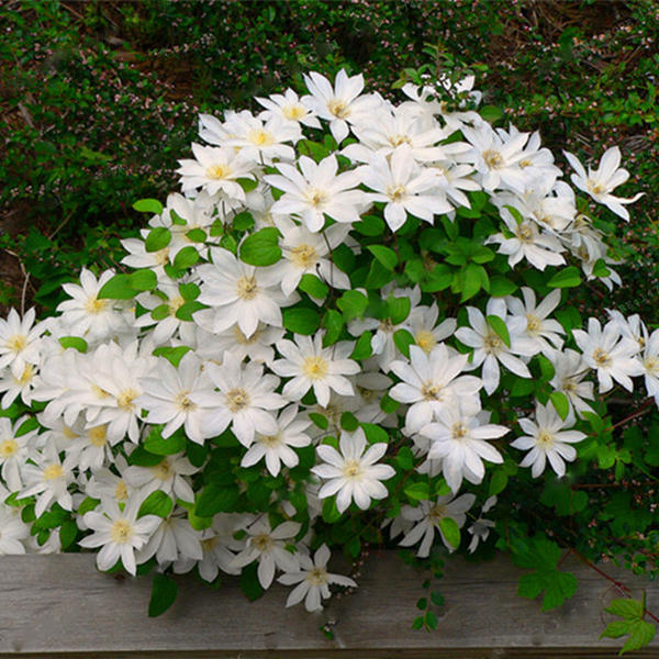 100pcs clematis flower seeds perennial plant garden decoration vines climbing clematis seed