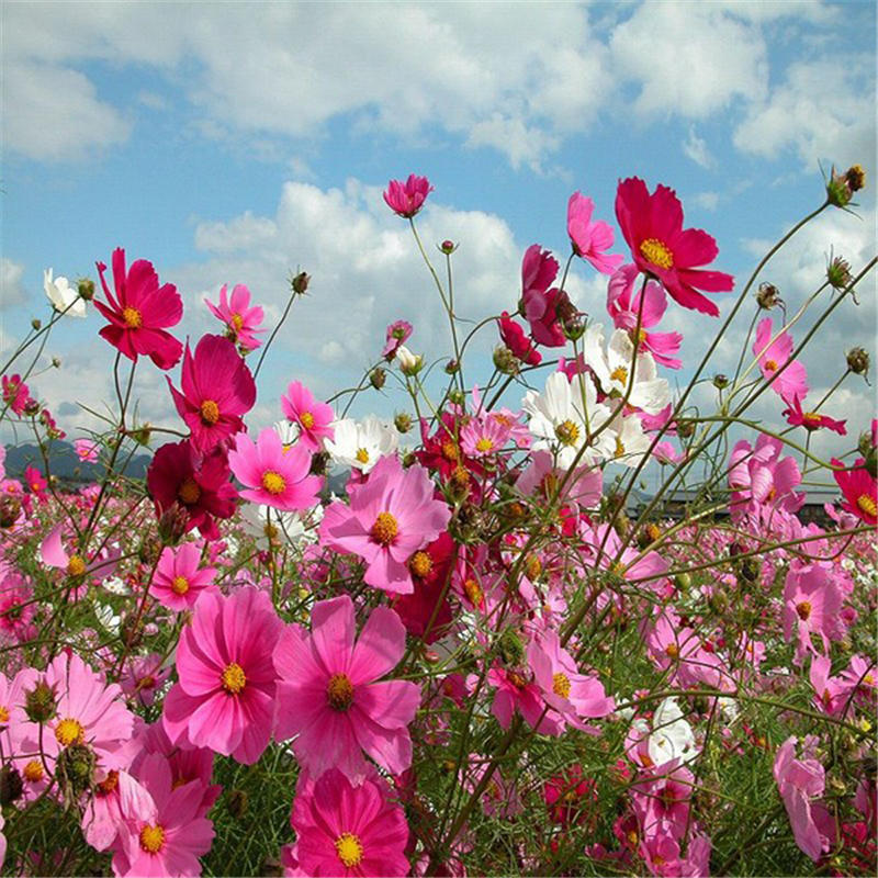 50pcs/pack cosmos seeds potted cosmos flower garden ornamental plants