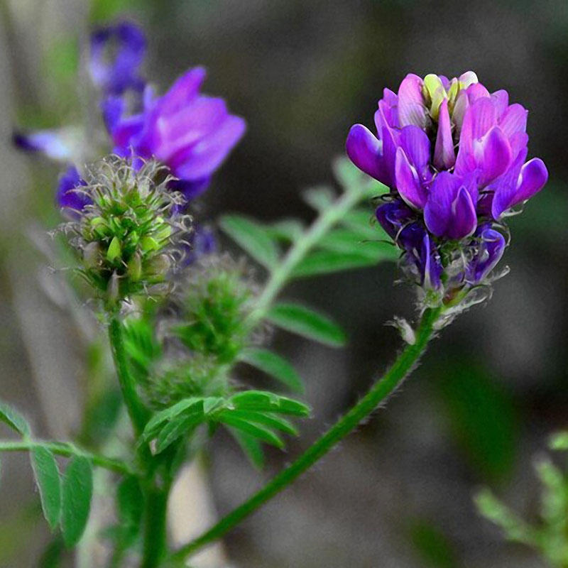 200pcs/bag alfalfa seeds perennial medicago sativa seeds hardy flowers forage seeds for home garden plants