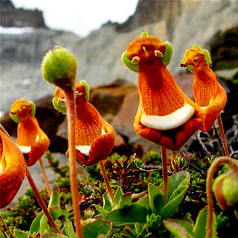 30pcs/pack calceolaria uniflora flower seeds rare alpine vegetation seeds