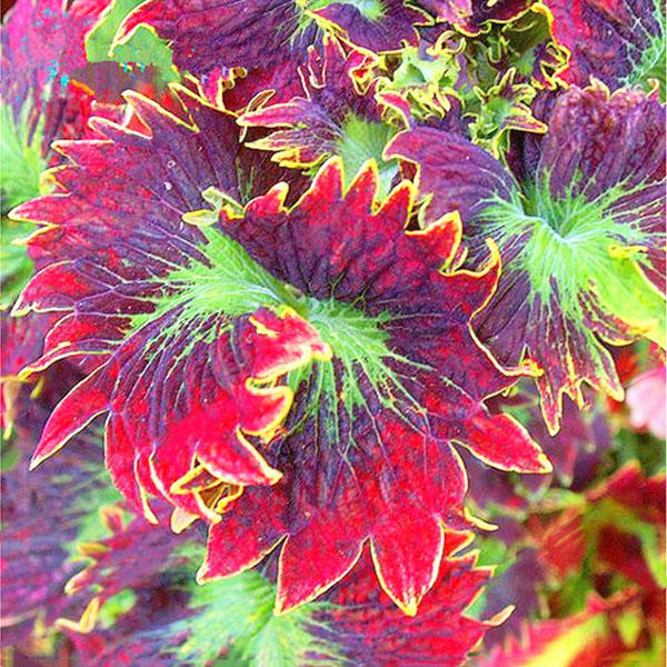 100pcs/pack coleus seeds rainbow dragon seeds garden japanese foliage plants