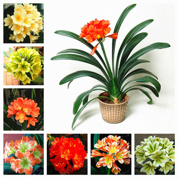 100 pcs/pack potted clivia seeds china clivia potted flowers seedling outdoor bonsai balcony flower