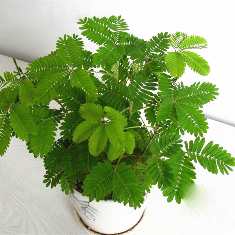30pcs/pack mimosa seeds garden courtyard bashful grass sensitive potted plants