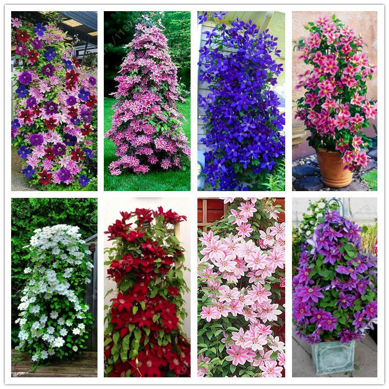 100pcs/pack mixed colors clematis seeds flower vines bonsai perennial climbing plant