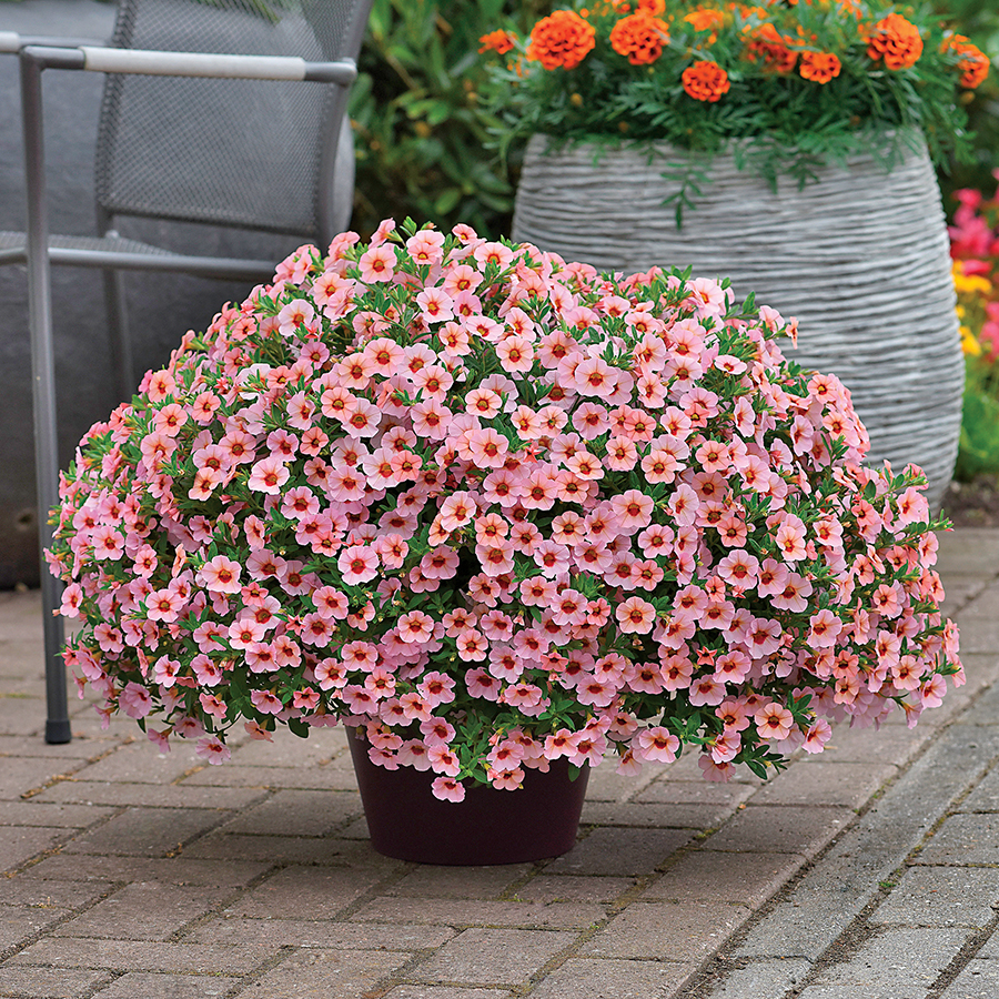 Kabloom ® Light Pink Blast Calibrachoa