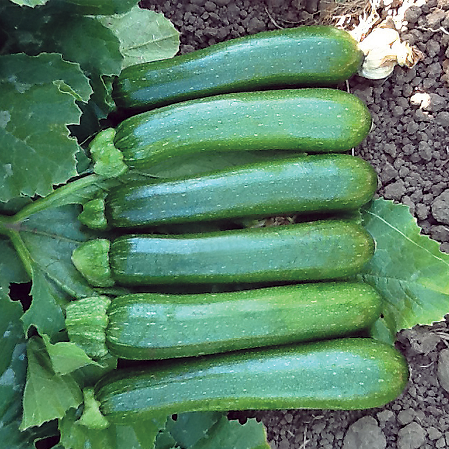 Organic Zucchini Green Machine F1